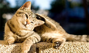Fleas and Cat-scratch Disease